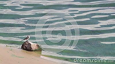 Белая трясогузка стоит на камне на банке цветя Green River видеоматериал