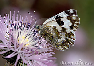 белизна бабочки