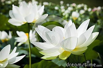 белизна воды лилии