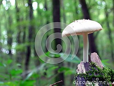 белизна гриба