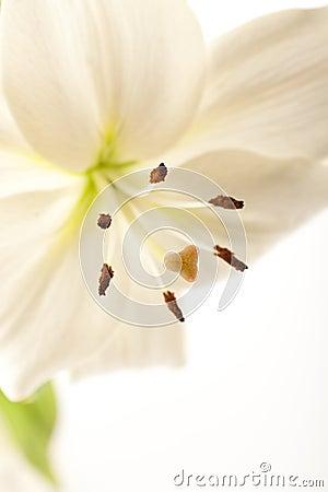 белизна лилии