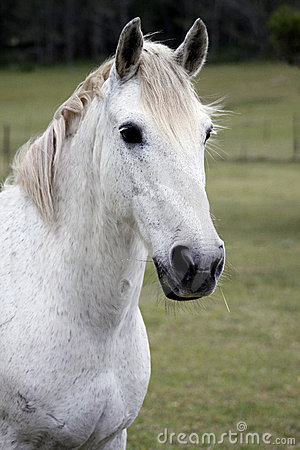 белизна лошади