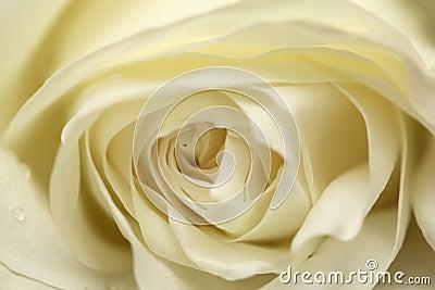 белизна розы лавины
