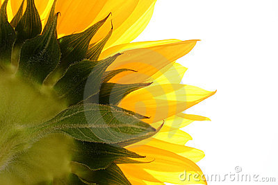 белизна солнцецвета