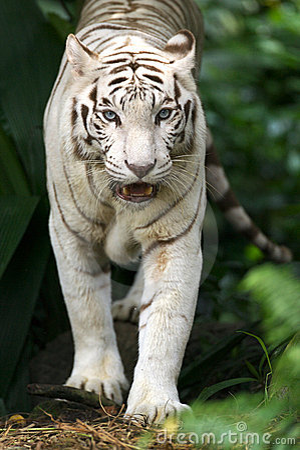 белизна тигра