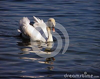 белизна 2 лебедей