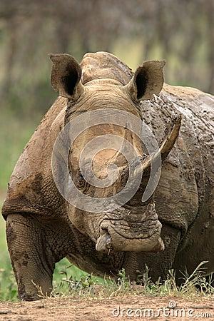 белизна rhinoceros