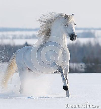 Белый galloping жеребца