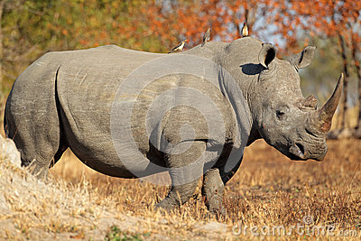 Белый rhinoceros