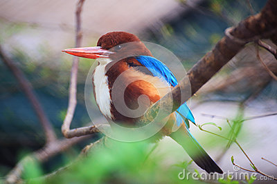 Белый throated kingfisher