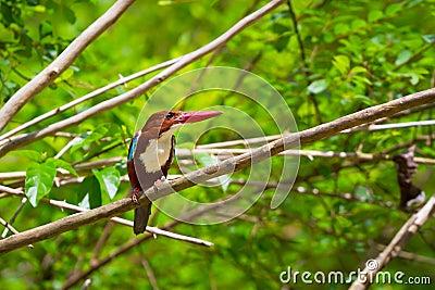 Бел-throated птица Kingfisher