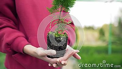 Биолог держит растение с прессованной почвой Экосистема, корень кониферного посева Широкий угол, статический выстрел сток-видео