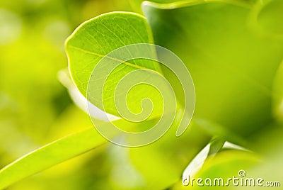 богачи листва