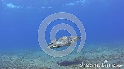 Большое зеленое заплывание морской черепахи в лагуне тропического моря отмелой видеоматериал