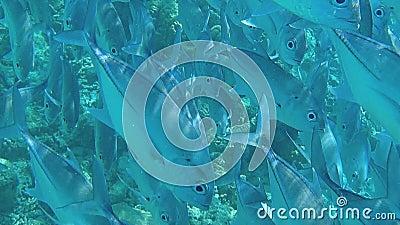 Большое стадо заплывов рыб очень близко к красивому виду камеры под водой Подныривание акции видеоматериалы