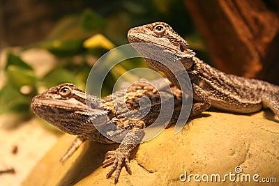 бородатые драконы