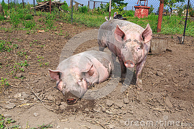 Большая свинья на ферме