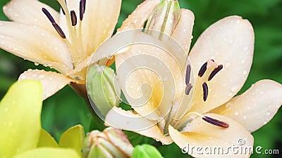 Бэйдж Лили Цветы с дождем падает на лепестки растет в саду Красота и свежесть сток-видео