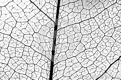вена листьев
