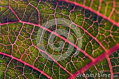 вены красного цвета листьев