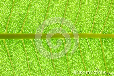 вены листьев