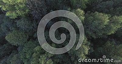 Верхние части зеленых деревьев в лесе камера падают вниз Ветер шуршая ветвями могущественных деревьев сток-видео