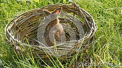 Весной в зелёной траве бежит забавный маленький коричневый кролик или зайчик Смешно в корзине с ветками Пасха видеоматериал