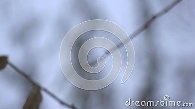 Ветвь высушенных и замороженных листьев нагая дерева в холодном зимнем дне видеоматериал