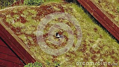 Взгляд черно-белой вороны сидит в желтой траве на крыше меньшего дома с swallowtail лета травы дня бабочки солнечное сток-видео