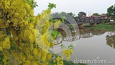 Вид на воздух Желтые цветы и Старый Железный мост с рекой Пинг в Чианмай, Таиланд видеоматериал