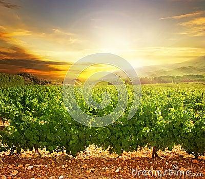 виноградник захода солнца