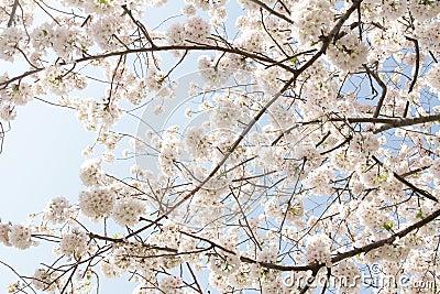 вишня цветений