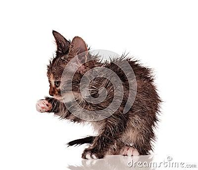 Влажный котенок
