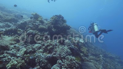 Водолазы акваланга плавая подводное голубое море среди кораллового рифа и рыб Подныривание моря видеоматериал