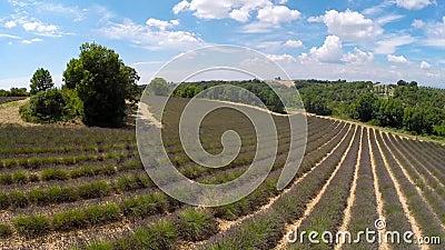 Воздушная видео- Провансаль - поле в Valensole, Франция лаванды сток-видео