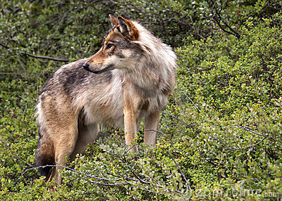 волк парка denali Аляски
