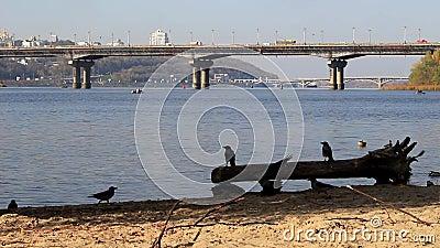 Вороны на обваловке реки видеоматериал