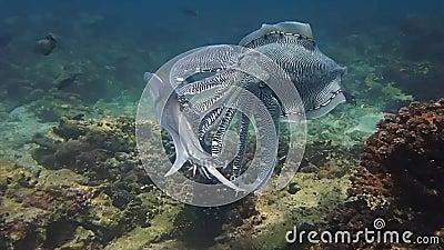 Воюя и сопрягая каракатицы фараона в Омане