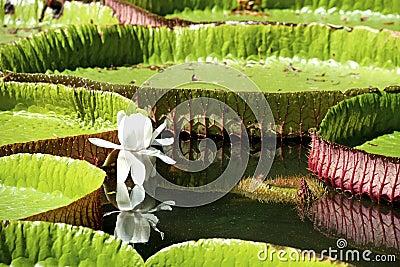Вод-лилия, Nenuphar