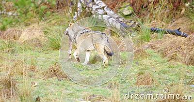 Волк бежать прочь с частью мяса в лесе акции видеоматериалы