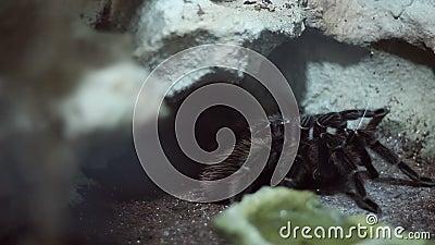 Волосатый Tarantula сток-видео