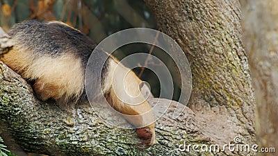 Вползать Tamandua муравьед южный очень смешной на его животе на ветви дерева сток-видео