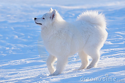 выследите samoyed щенка