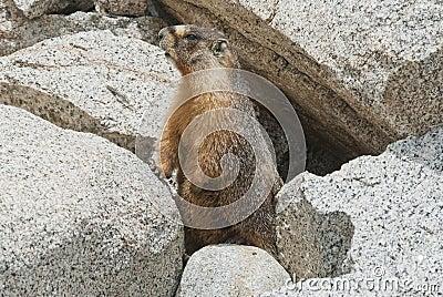 высокая Сьерра marmot