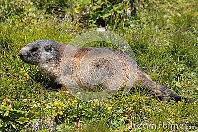 высокогорный marmot