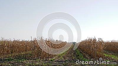 Высушенный вверх по кукурузному полю, взгляд от двигая автомобиля на аграрном крае во время сбора осени видеоматериал