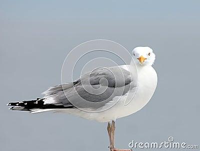 Вытаращиться чайки