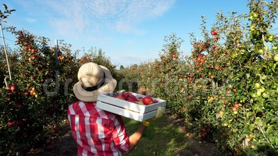 В лучах солнца, женский фермер в прогулках рубашки и шляпы шотландки между строками яблонь она держит коробку со свежим видеоматериал