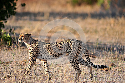 Гепард на prowl