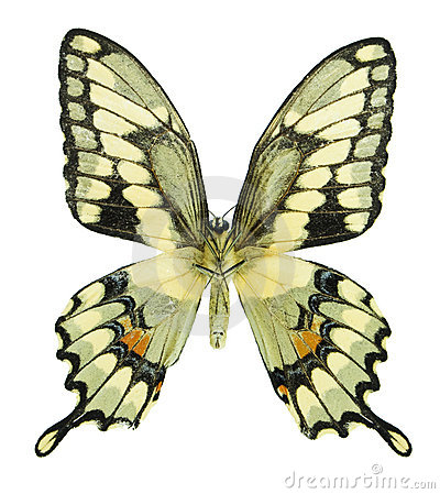 гигантское swallowtail